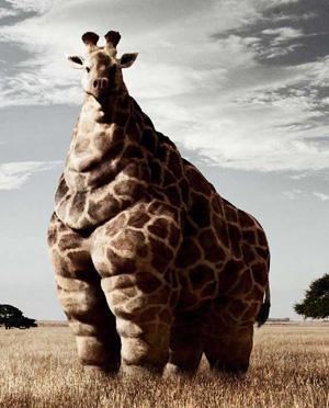 obezita zirafy