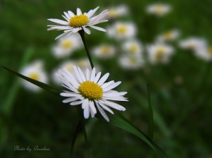lucne kvety 2