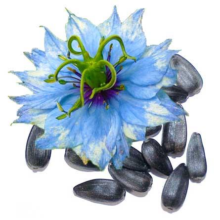 Black Seed čierna rasca